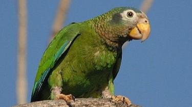 Ямайский желтоклювый амазон (Amazona collaria)