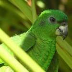 Ямайский черноклювый амазон (Amazona agilis)