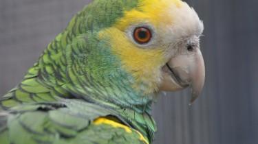Желтоплечий амазон (Amazona barbadensis)
